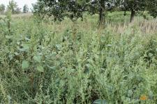 Павлодарские биологи сравнили несколько способов борьбы с опасным сорняком циклахеной