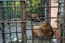 Медведи-алкоголики из Сочи отправятся на реабилитацию в Румынию