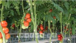 В Павлодарском тепличном комплексе собрали первую тонну помидоров
