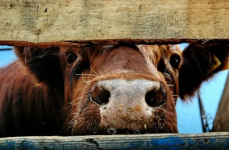 В Павлодарской области задержали пенсионера, подозреваемого в нескольких кражах скота