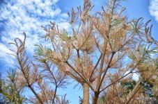 Десятки хвойных деревьев, посаженные в Павлодаре летом, обречены на гибель
