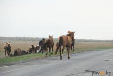 Украсть за полчаса: полицейские напоминают о том, как быстро бесхозный скот может стать добычей злоумышленников
