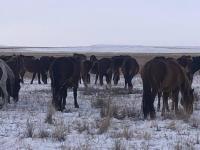Оставленные без присмотра лошади ушли из Баянаула в район Аксу