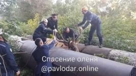 Павлодарские спасатели: олень ушел в сторону поймы реки Иртыш