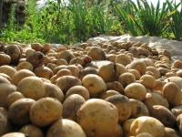 Завершается уборка картофеля