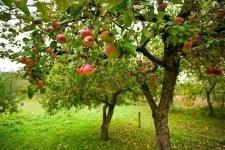 Яблоневый сад пытаются возродить в Павлодаре