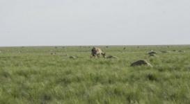 В Казахстане наденут спутниковые ошейники на сайгаков