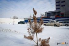 В Павлодаре хотят продолжать высаживать большое количество хвойных деревьев, несмотря на иные рекомендации экологов