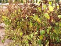 Опасный сорняк из Северной Америки распространился во многих районах и пригороде Павлодара