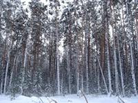 Очередной сотрудник резервата «Ертiс орманы» попался на краже леса