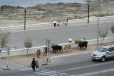 В Актау откроют «штрафстоянку» для беспризорного скота