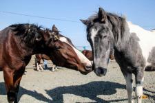 Четыре тысячи голов скота в Павлодарской области отправили на штрафстоянки