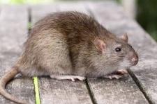 Родители, чьи дети занимаются в подростковом клубе «Женис», жалуются на крыс