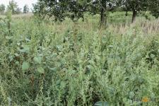 Павлодарские биологи рассказали о предварительных итогах борьбы с опасным сорным растением