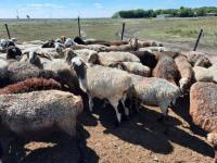 Житель Павлодарской области по пьяни угнал чужих овец