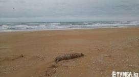 Еще около 10 тушек тюленей обнаружены на берегу в Мангистауской области