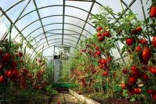 Пахать днём и ночью ради голландских помидоров поручил аким Павлодарской области