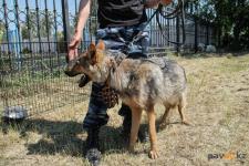 Павлодарские полицейские-кинологи будут выращивать волкособов