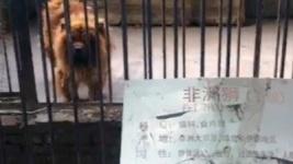 В китайском зоопарке собаку выдавали за льва