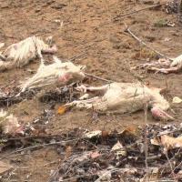 Мертвых кур обнаружил на обочине дороги житель Кенжеколя