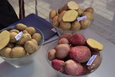 В Павлодаре проходит региональная ярмарка «Павлодарский картофель-2015»