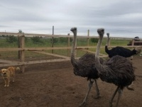 Страусов можно увидеть в контактном зоопарке Павлодарского района