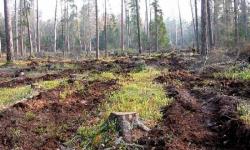 В Павлодарской области браконьеры за два дня уничтожили реликтовый бор на 80 млн тенге
