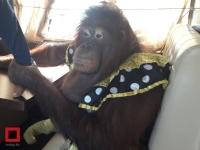 Орангутанг сыграл на гармони в трамвае в Павлодаре