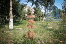 В павлодарском акимате рассказали, как намерены бороться с гибелью деревьев