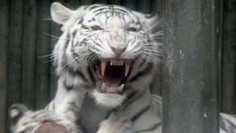 Сбежавший из зоопарка Тбилиси тигр-альбинос задрал человека и был убит
