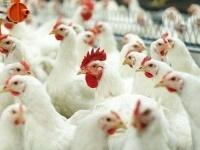 Кызылжарская птицефабрика прекращает свою работу на два месяца