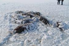 В Павлодарской области обнаружили 26 мертвых лошадей в ледовой ловушке