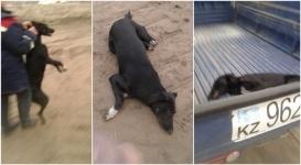 Алматинцы жалуются на чрезмерно жестокий отлов бродячих собак