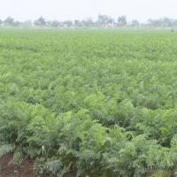 Раннюю морковь начнут собирать на полях с 10 июля