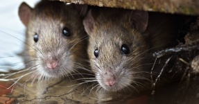 Отказаться от мусоропровода, как от рассадника крыс, предложили в управлении защиты прав потребителей