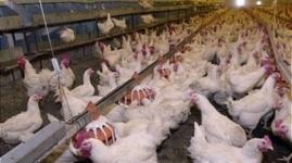 Украинскую курятину проверят в связи с запретом поставок в Казахстан
