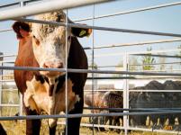 В Экибастузе конная полиция выявляет бесхозно пасущийся скот