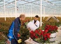На 8 марта экибастузкие розы Red Naomi будут доступны оптовым покупателям