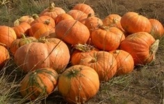 Переработка тыквенных семян в Лебяжинском районе станет круглогодичной
