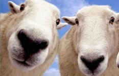 Молодец среди овец