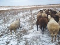 За скотом в Павлодарской области предлагают следить с помощью GPS