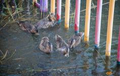 С 24 апреля в Павлодарской области откроется весенний сезон охоты на диких уток