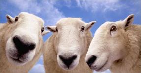 Сельчанин купил трех овец по цене одной и окажется за это в суде