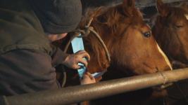 Павлодарские полицейские обязывают владельцев скота устанавливать на животных светоотражающие ошейники