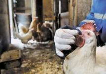 В Восточном Казахстане готовятся к эпидемии птичьего гриппа