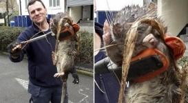 Раскрыта тайна 12-килограммовой крысы-мутанта из Лондона