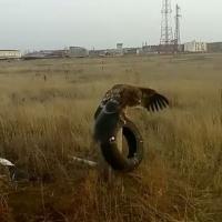 Спасенного жителями Павлодарской области орла-могильника выпустят на юге Казахстана