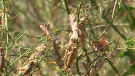 Очаги распространения саранчовых обнаружили в Павлодарской области