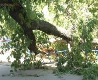 В Павлодаре дерево едва не стало причиной трагедии