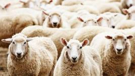 В Западном Казахстане поселок закрыли на карантин из-за овечьей оспы